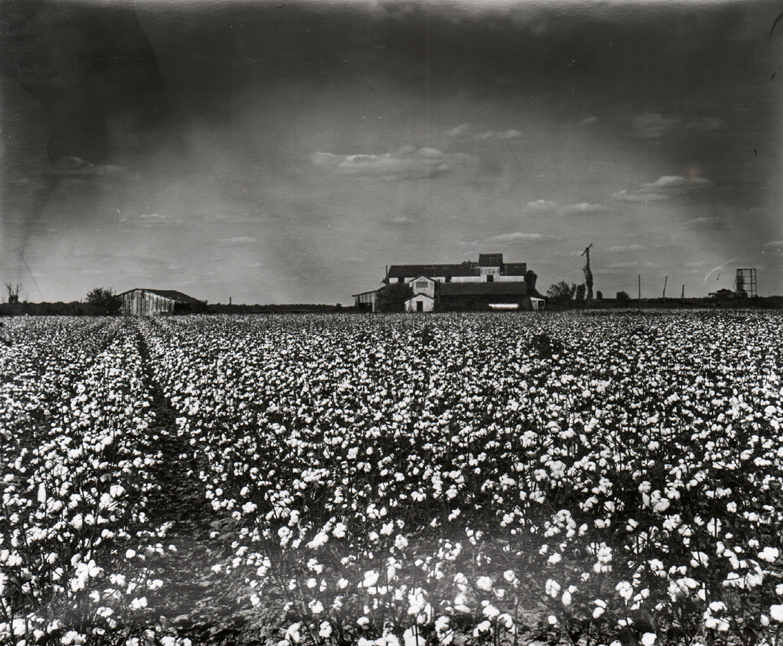 Cotton field on Hwy. 49, Lula, Mississippi. Photo by Euphus Ruth.